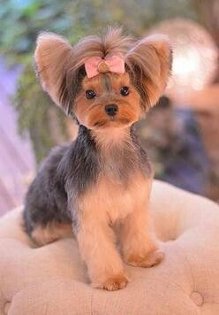-Repinned-Yorkie hairstyle: Dog Grooming Salon Ideas, Dog E Styles, Yorkie Hairstyles, Creative Dog Grooming, Creative Grooming Dogs, Yorkie Styles, Dog Hairstyles, Yorkie Grooming Styles, Dog Grooming Styles