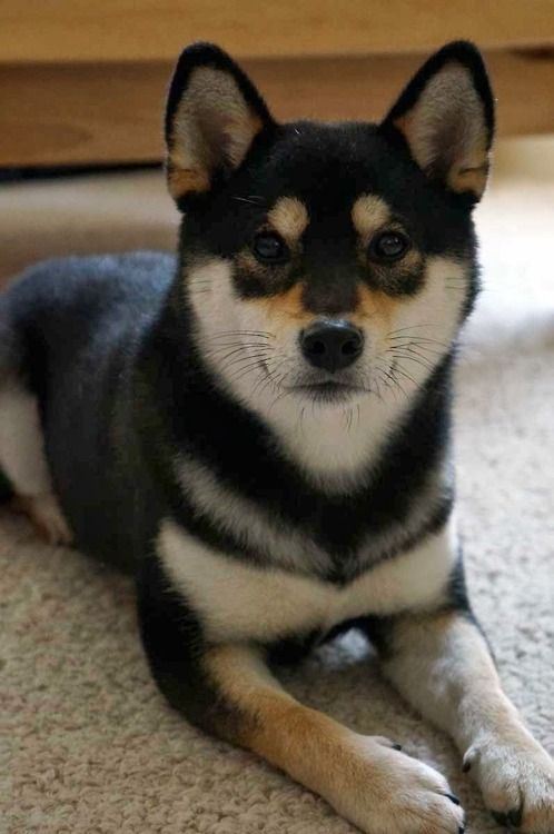 Shiba inu dog - looks like Chibi!! :D I think we'll definitely have a Shiba at some point in our lives, if I have anything to say about it...: Animals, Dogs, Sheebs, Shiba Inus, Black Shiba Inu