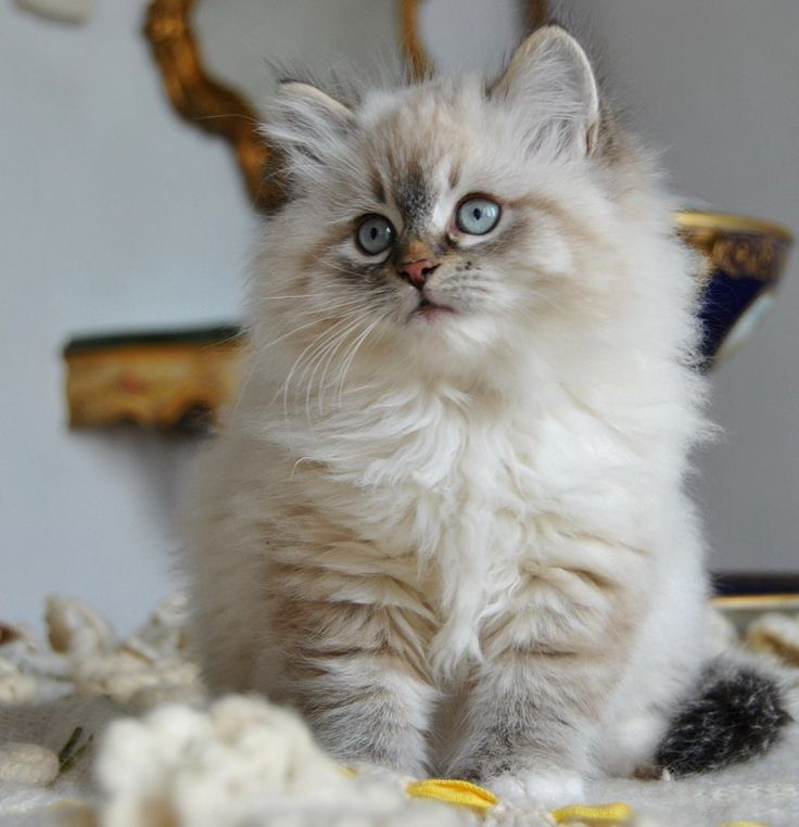 Siberian kitten.   This is one cute little kitty.  I will have another kitty. We you be mine?: Kitty Cats, Beautiful Cat, Animals, Sweet, Pet, Adorable Kittens, Fluffy Kittens, Kitty Kitty