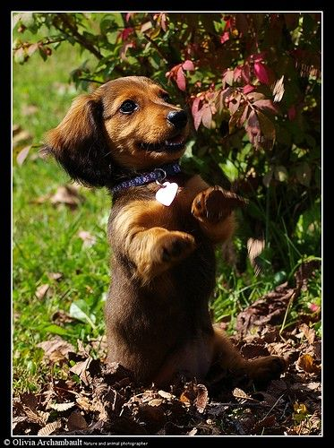 So so sweet   ...........click here to find out more     http://googydog.com: Daschund, Mini Dachshund, Sweet, Weenie Dogs, Dachshund Puppies, Doxie S, Doxies, Puppy, Wiener Dogs