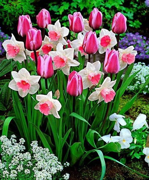 Spring flowers. Like the grouping but pink daffys?  I don't think so.  Still pretty. So ready for spring!!: Spring Flowers, Spring Bulbs, Flowers Plants, Beautiful Flowers, Pink Daffodils, Flowers, Pink Tulips