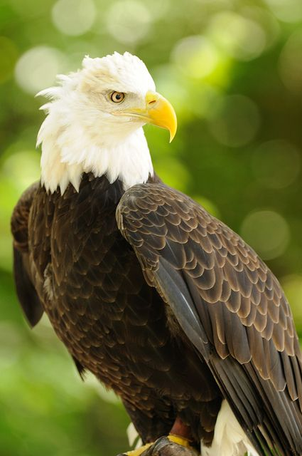 This is a Bald Eagle. It is America's National bird. They are endangered mostly because of the Pesticide DDT. These birds used to eat the roots that were contaminated by the pesticide and their nesting and feeding sites were spreaded.: American Bald,