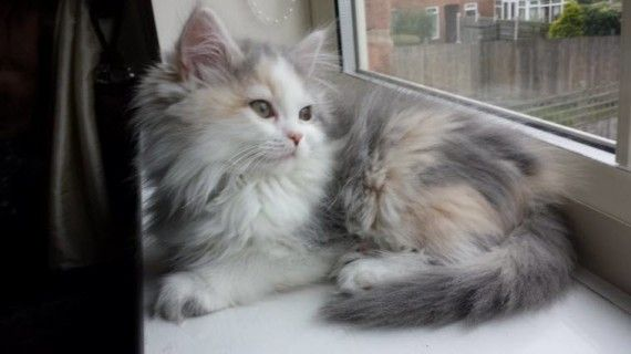 This is flump. Our Persian/Ragdoll kitten. What a gorgeous ball of fluff. Sent in by Craig Driver-Gray:: Cats Calicos, Cats Cats, Kitty Cats, Beautiful Cats, Cats ️, Cats They, L 3Ve Cats, Bc Catsss, Cats Dogs Animals