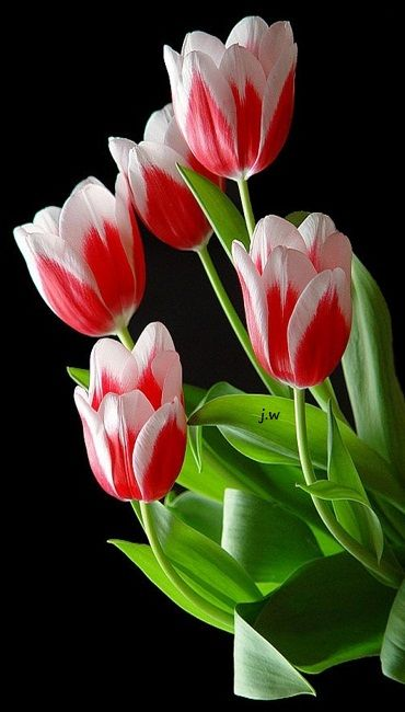 Tulips are glorious....: Google, Flores Flowers, Bulbs Tulips, Beautiful Flowers, Flowers Wild Plants, Beautiful Tulips