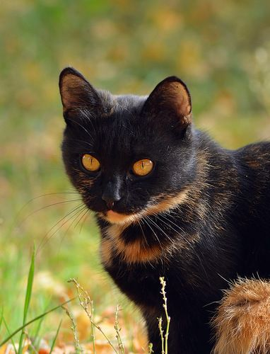 What beautiful color this cat has.. ♥: Kitty Cats, Beautiful Cats, Cute Cats, Black And Orange Cat, Beautiful Color, Beautiful Colour, Halloween Cat, Animal, Eye