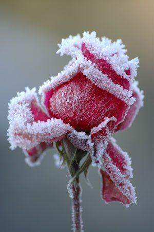 Winterizing a rose. So cool for Flour LA Jr! or editorial work!: Winter, Beautiful, Roses, Red Rose, Flowers, Garden, Photography