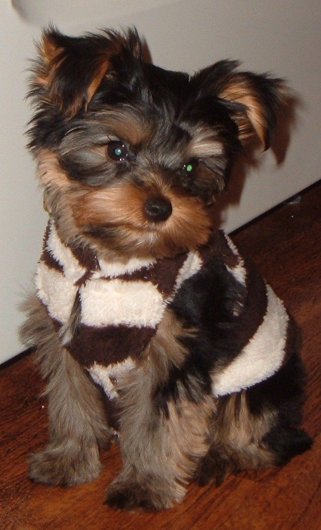 #yorkie #dogs: Aww Yorkies, Baby Bentley, Yorkshire Terrier, Cute Sweaters, Yorkies Chihuahua, Lovable Pets, Yorkie Sweater