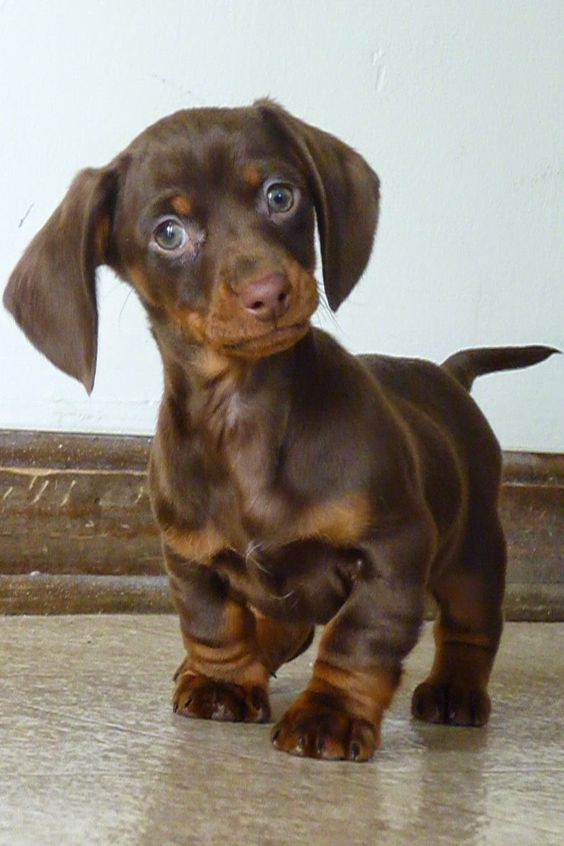 The 5 Most affectionate dog breeds, lets see what place is your dog :): Animals, Dogs, Dachshund, Doxie, Pets, Puppys, Puppy, Baby