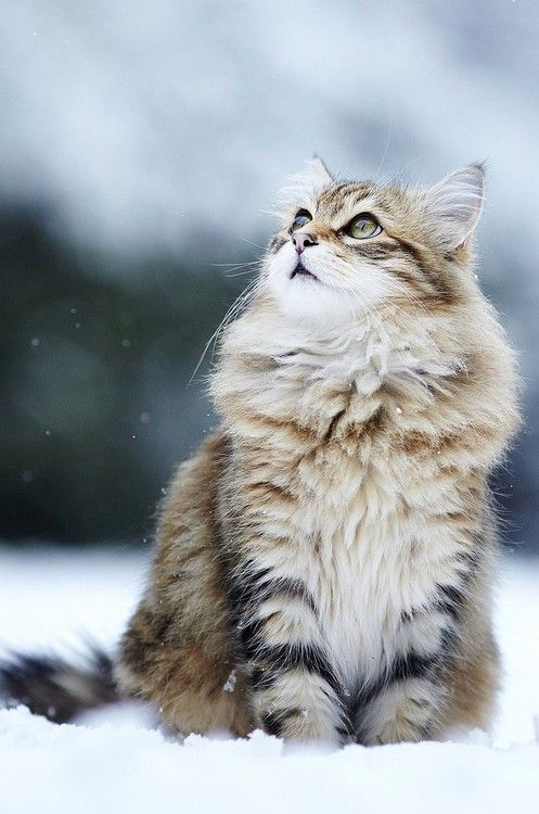 """It is with the approach of Winter that cats wear their richest fur and adopt an air of sumptuous and delightful opulence."" --Pierre Loti: Kitty Cats, Animals, Kitten, Beautiful Cats, Pet, Maine Coon, Snow Cat, Kitty Kitty, Chat"