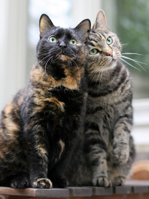 .These two cats have bonded with each other like two best friends. So sweet!!: Cats, Beautiful Cat, Kitty Cat, Animals, Best Friends, Chat, Feline