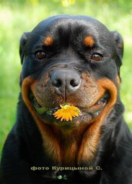 """Picked this especially for you!"" #dogs #pets #Rottweilers   Facebook.com/sodoggonefunny: Animals, Rottweilers Facebook, Funny Rottweiler, Pets Rottweilers, Dogs Pets, Friend"