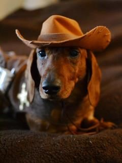 """Think I'll make me some grub!"" #dogs #pets #Dachshunds Facebook,com/sodoggonefunny: Animals, Dachshund, Pet, Cowboy Doxie, Doxies, Has"