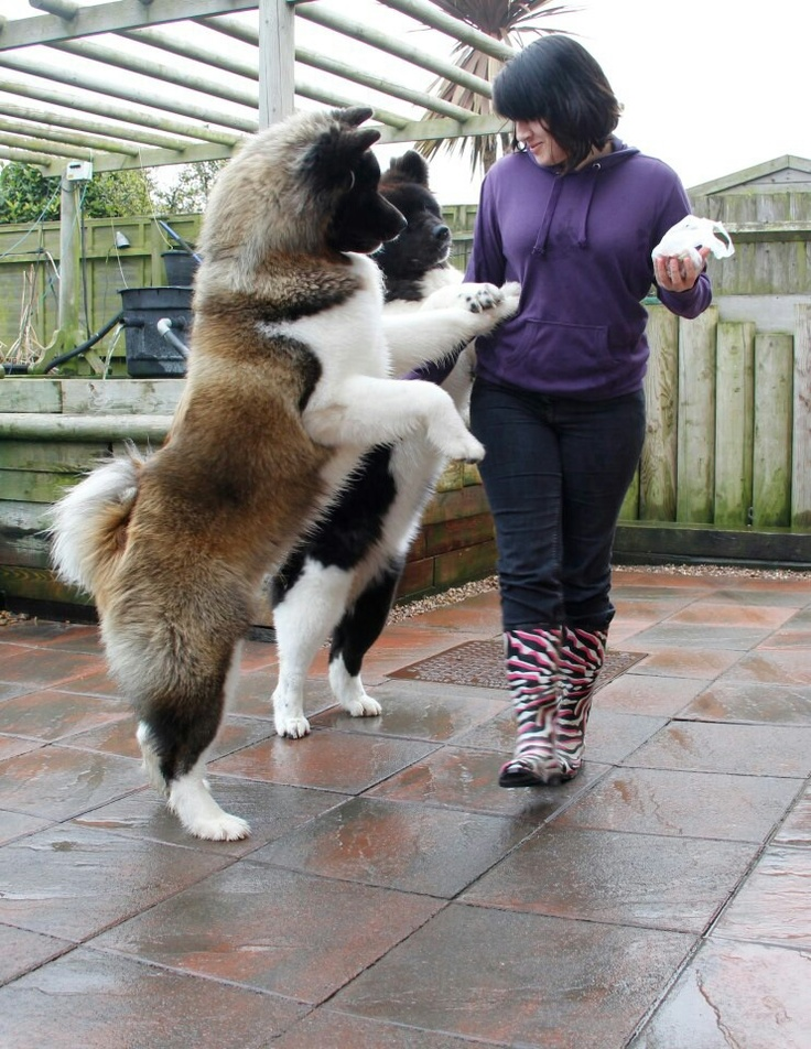 "Akita's! Beautiful!  THIS IS A BEAUTIFUL ""BEAR"" AKITA.... size: large exercise: high grooming: low trainability: very easy: Akita Dog, Riskiest Dog, Akitas Adorable, Dogs, Akitas Beautiful, Dog Breeds"
