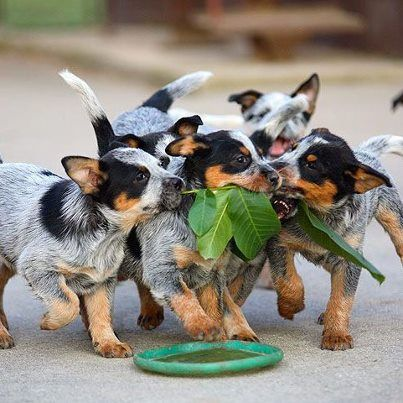 Australian Cattle Dog pups: Dogs Blue Heeler, Animals, Blue Heelers, Puppys, Australian Cattle Dog, Cattle Dogs, Cattledogs, Queensland Heeler