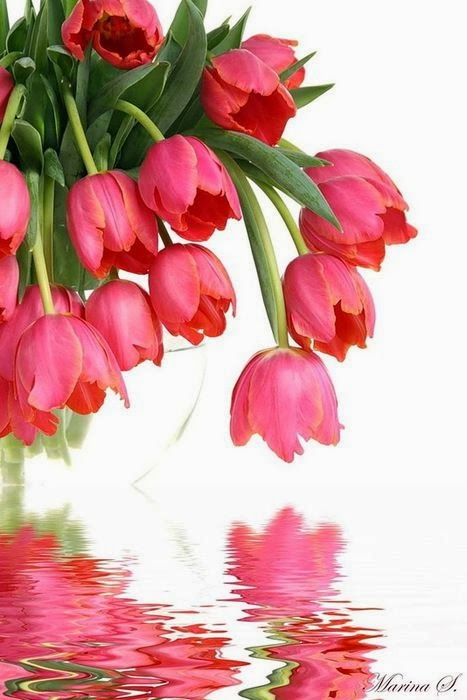 Awesome tulips! http://www.facebook.com/trish.ledingham	 Please like my page: http://www.facebook.com/LivingLifeEzy: Beautiful Tulip, Beautiful Flowers, Garden, Pink Tulips, Tulip Reflection, Tulips Reflection, Favorite Flower