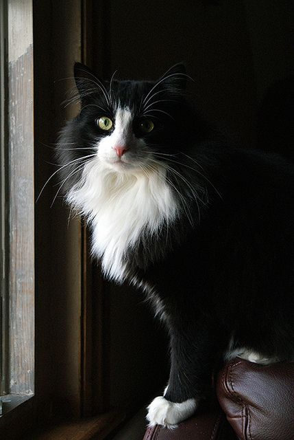 Black & white kitty - this cutie looks a lot like my Sundance!: Longhaired Cats, Felines Cats, Tuxedo Cats, Tuxedocats, Cats Kittens, Black And White Cats, Animal