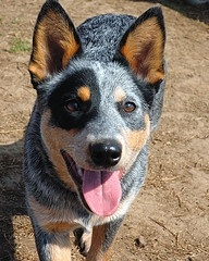 Blue Heeler if you want a dog who will live forever.... Here it is. Haha. Seriously: Blue Heeler Puppy, Blue Cattle Dog, Blue Heeler Dogs, Blue Healer Dog, Australian Cattle Dog, Cattle Dogs, Cattledogs, Dogs Blue, Blue Healer Puppies