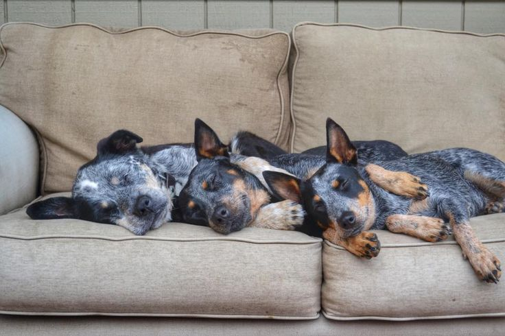 Blue heelers sleeping together; ACD; Australian Cattle Dogs: Acd Dogs, Heelers The, Heelers Sleeping, Blue Heeler Dogs, Blue Dogs, Healers Heelers, Blue Heelers, Dogs Blue, Queensland Heeler