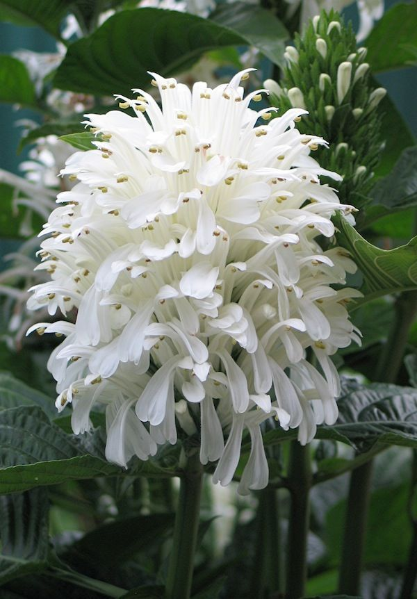 Brazilian Plume Flower as a House Plant. It should be grown in bright indirect light during the growing season (Spring through Fall), with a room temp of 60°-75°. In the dormant winter months, move your plant to a cooler (55°) room where it will receive t