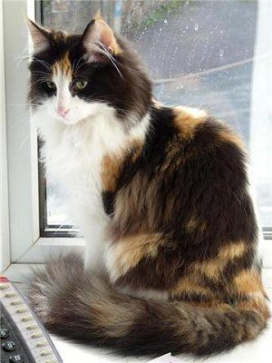 Calico Norwegian Forest Cat - looks like my little Callie girl. Did you know calico cats are all female?: Beautiful Cat, Long Haired Cat, Norwegian Forest Cat, Long Haired Calico Cat, Pretty Cat, Calico Cats, Calico Norwegian, Fluffy Cat