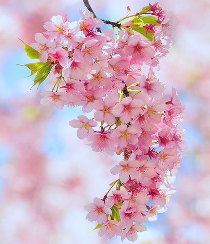 Cherry blossoms - gloriously beautiful. We had the most exquisite cherry blossom tree in our front garden when I was small; I used to sit and look at it and dream....: Spring Blossom, Cherry Tree, Beautiful Flowers, Pink, Cherry Blossoms