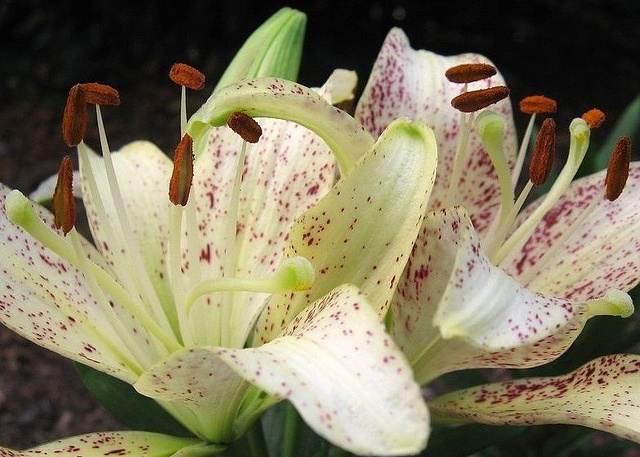 Cinnamon-Sprinkled    White Tiger Lilies,: White Tigers, Tiger Lilies, Flower Friends, Photo