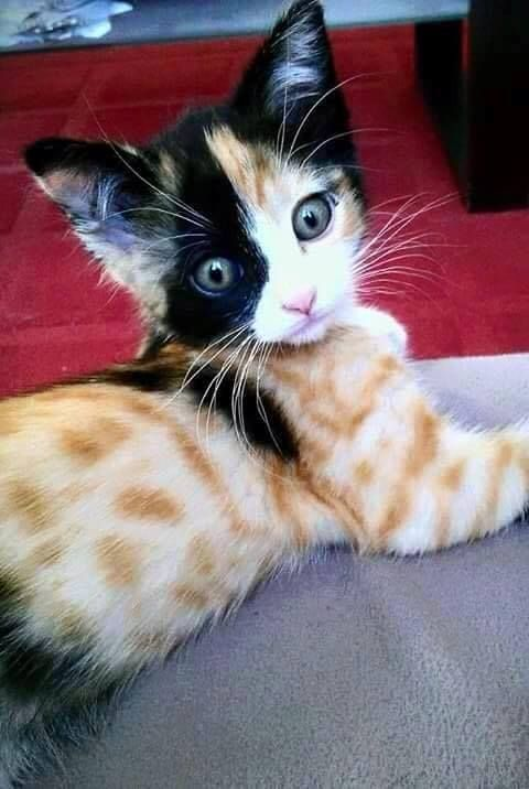 Cuteness overload...some of the most interesting markings I've ever seen on a cat...: Kitty Cats, Animals, Funny Picture, Kittens, Unique Kitten, Calico Cat