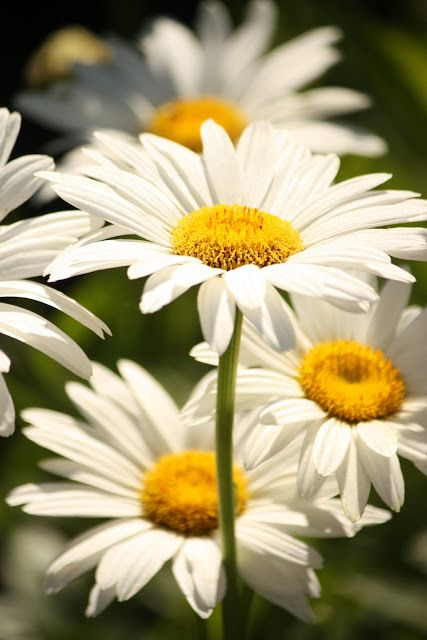 Daisies, always so pretty and someone I know loves daisies almost as much as I love her-For MON: Daisies Flower, Daisy Tablescape, Favorite Flowers, Happiest Flower, Beautiful Flowers, Garden, Friendliest Flower