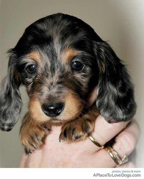 Dapple baby dachshund   ...........click here to find out more     http://googydog.com: Face, Daschund, Sweet, Wiener, Doxie S, Dog, Baby Dachshund, Animal