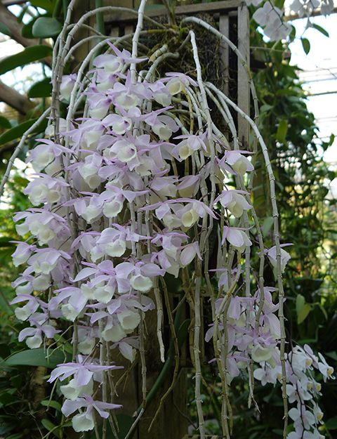 Dendrobium aphyllum grows in India, Myanmar, Thailand and south China at 200 to 1800 m in seasonally dry tropical forests.: Flowers Nature, Orchid, Dendrobium Orchids, Beautiful Flowers, Orchids Orchids