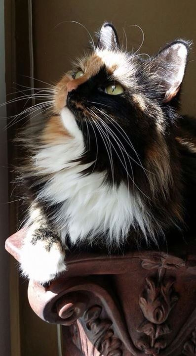 Domestic Long Haired Calico ~ Sitting on her pedestal ~Soaking in ray of sunshine ~ awww: Cats Meow, Animals, Beautiful Cats, Calico Cats, Chat, Feline, Calico Kitty