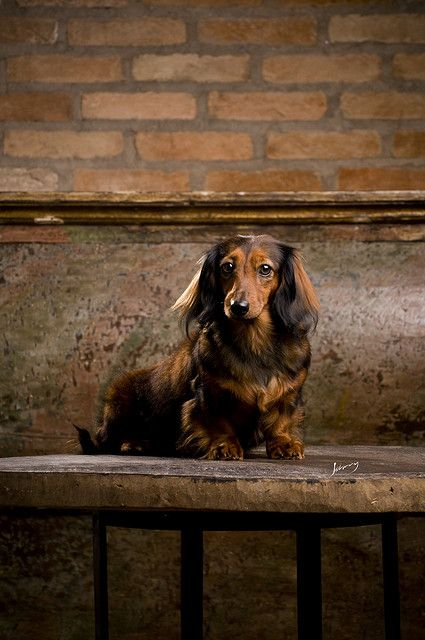 doxie portrait #cute #dachshund: Dachshunds Stuff, Animals Pets, Beautiful Dachshund, Wiener, Dachshund Shortlongdogs, Daschund Portrait, Dachshund Photography
