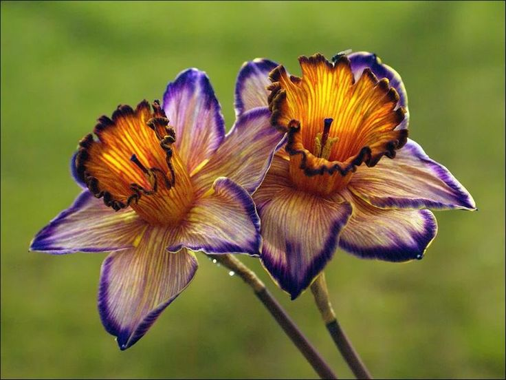 Dragon Daffodils: Dragon Daffodils, Idea, Color, Flower Power, Beautiful Flowers, Bloom, Beauty, Garden, Favorite Flower