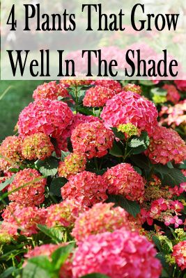 garPlants that grow well in the shade Everlasting Revolution. Imported from China and Japan, the Hydrangea macrophylla: Shade Plant, Patio Idea, Shade Garden, Gardening Outdoor, Plants Garden, Front Yard Flower Bed