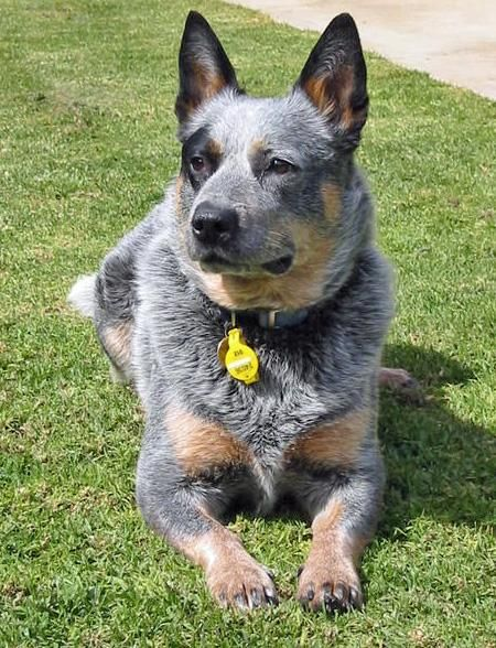 Google Image Result for http://staging.dailypuppy.com/media/dogs/anonymous/7262/2008071977027_IMG_0567.JPG_w450.jpg: Australian Blue, Animals, Blue Heelers, Pets, Australian Cattle Dog, Dog Blue Heeler, Cattle Dogs, Cattle Dog Blue