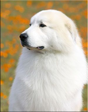 Great Pyrenees http://tipsfordogs.info/...: Big Dogs Breeds, Dogs Training, Big Fluffy Dogs, Gentle Giant, Console, Drawdogs, Dogs Ohhhh, Animal