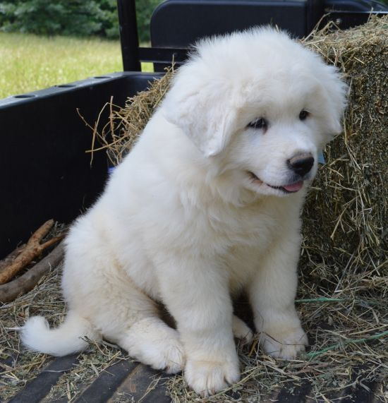 Great Pyrenees puppy I want one so bad!: Doggie, Sweetest Dogs, Great Pyrenees Puppies, Puppy Sweetest, Animals, Puppys, Great Pyrenees Dog, Great Pyrenees Puppy