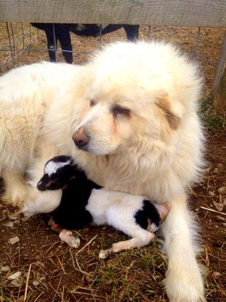 Great Pyrenees rescues abandoned baby goat (dog, goat): Farm Dogs, Dairy Goats, Newborn Goats, Kids, Newborns, Guard Dog, Baby Goats, Dog Care