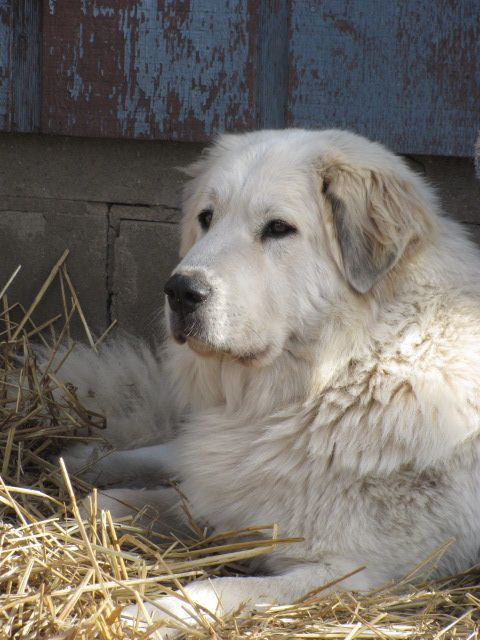 Great Pyrenees-these dogs are so sweet and laid back! Size of a great dane: Pyrenees Dream, Pyrenees Lilly, Great Pyrenees Puppies, Great Pyrenees Dogs, Pyrenees Mountain Dog, Pyrenees Exquisite, Puppy Great Pyrenees, Great Pyrenees Puppy