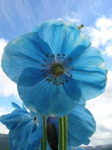 Himalayan Blue Poppy, love the color!: Blue Poppies, Beautiful Blue, Blue Flowers, Color, Beautiful Flowers, Pretty Flowers, Blue Poppy, Garden
