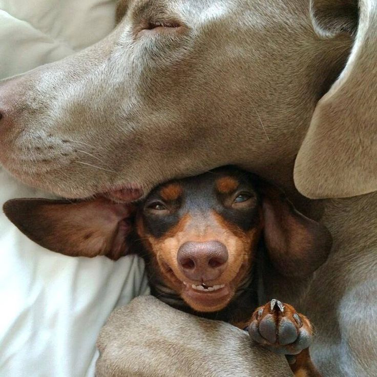 hug. my favourite Instagram account ever!!: Doxie Smiles, Reese, Harlow And Sage, Awwwww Animals, Doxielove Nine, Dachshund Shortlongdogs, Doxielove Animalbehaviorc