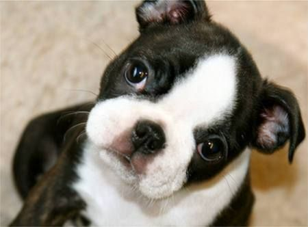 I love Boston Terriers: Face, Boston Babies, Bostonterriers, Boston Terrier Puppies, Boston Terriers, Dog, Animal