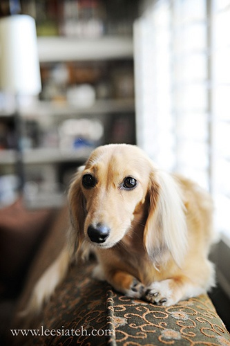 Irish Cream Doxie...By Lessia Teh. Saturday Doxies: Animal Dachshunds, Dachshund Dog Doxie, Cream Doxie, Babies Dachshunds, Delightful Dachshund, Darling Doxies, Doxie Pups, Dachshunds Sausage Dogs