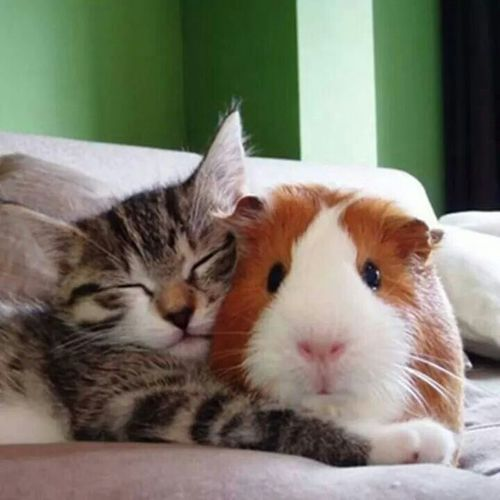 Kitty and Guinea piggie pals: Cats, Guineapigs, Guinea Piggies, Animals, Friends, Pets, Kittens, Kitty, Guinea Pigs