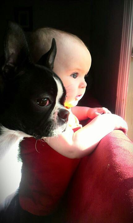 Little friends: Friends, Sweet, Pet, Adorable, Baby, Boston Terriers, Dog, Photo, Animal