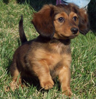long haired mini dachshund.. we have black and tan but I love this color of coat too: Animals, Dogs, Dachshund Puppies, Pet, Puppys, Doxies