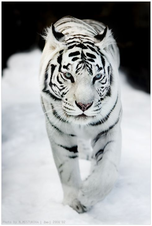 Magical Nature Tour - White tiger. Amazing picture: Wild Animal, White Tigers, Big Cats, Animals, Beautiful Animal, Bigcats, Whitetigers, Wild Cats