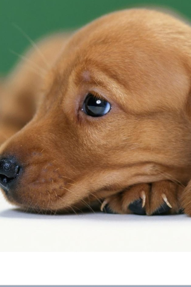 ♡ Makes me wonder how anyone could be cruel to an animal. They are amazing and teach us so much!: Doxie Eyes, Baby Doxie, Happy Stuff, Amazing Things, Adorable Baby, Baby Animals, Dog, Puppy Eyes