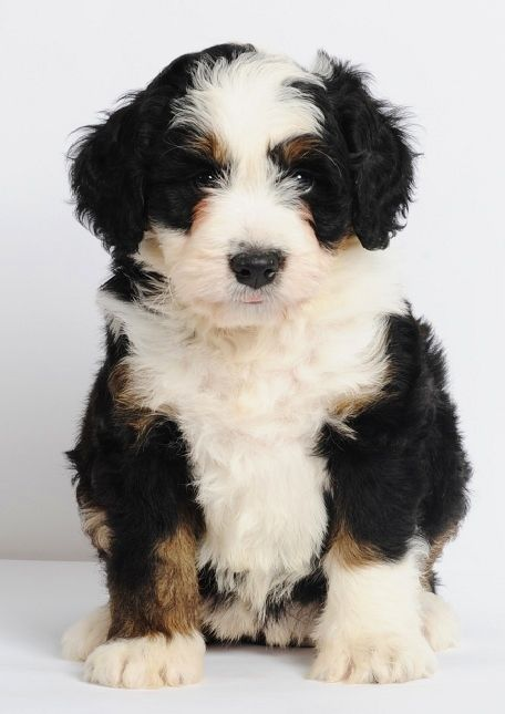 """Mini Bernedoodles - Bernese Mountain Dog & Poodle cross - 25-49 lbs. full grown & 15-20"""" tall -- non-shedding I would like this!: Mini Bernedoodle, Bernese Mountain Dogs, Mixed Dog, Nonshedding Dog, Poodle Mix, Minibernedoodle, Animal"""