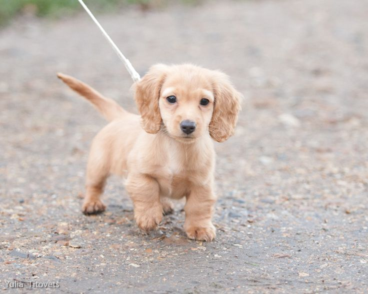 Mini Long Hair Dachshund pup....exactly how my baby boy Bolt looked liked when we got him<3: Long Haired Dachshund, Miniature Dachshunds Puppy, Pup Exactly, Long Hair Dachshund, Baby Boy, Boy Bolt, Animal